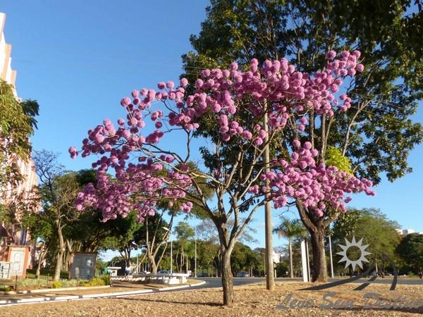 o que fazer em brasilia - ipes - brasilia - arvores - amarelo - roxo - rosa -branco